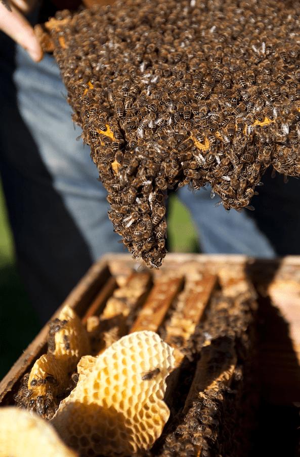 Bienen auf der Beute