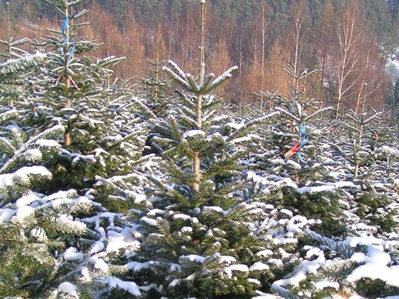 Tannenbaum Warum.Heimischer Bio Christbaum Für Das Weihnachtsfest Bio Austria