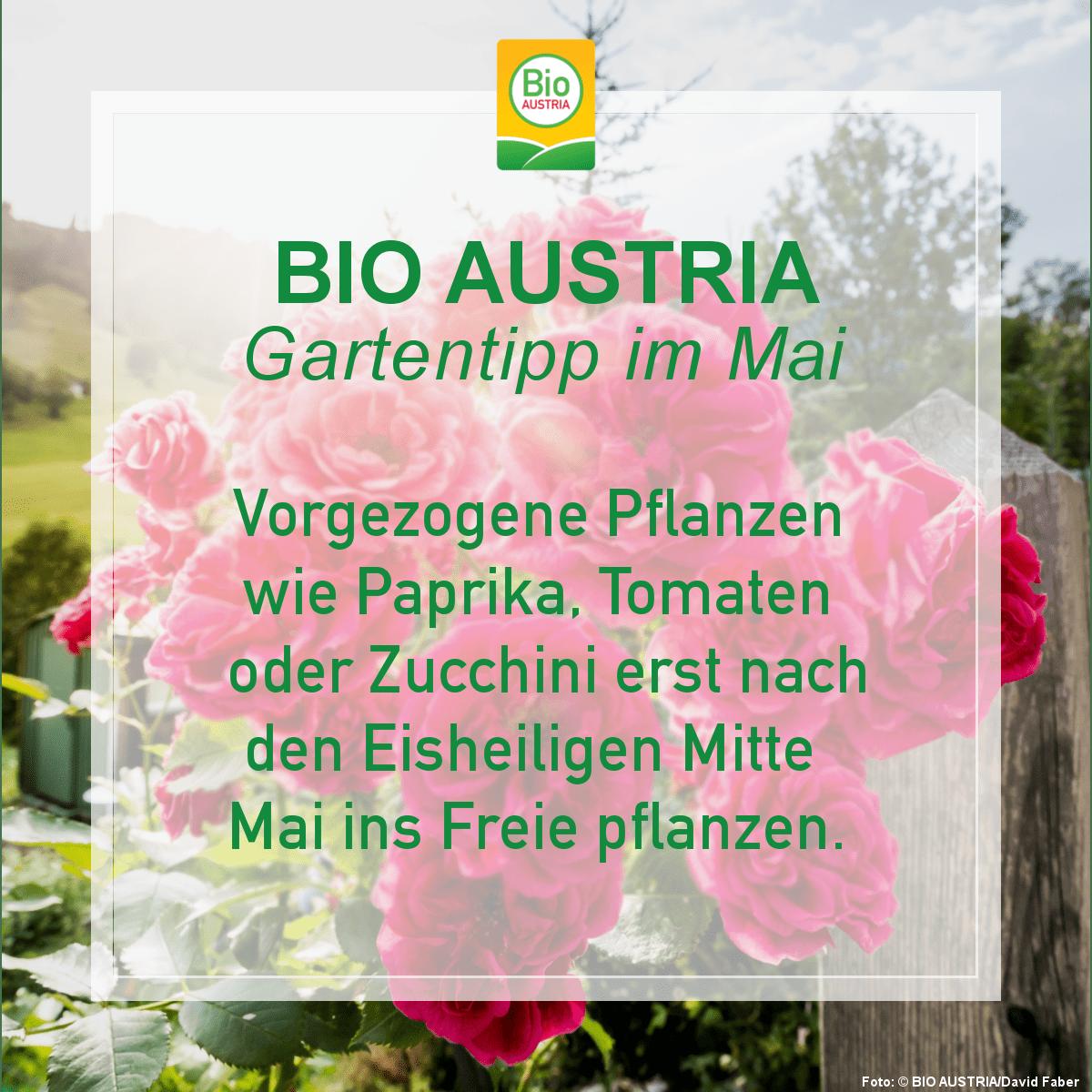 Gartentipp im Mai Vorgezogene Pflanzen nicht vor Eisheiligen auspflanzen
