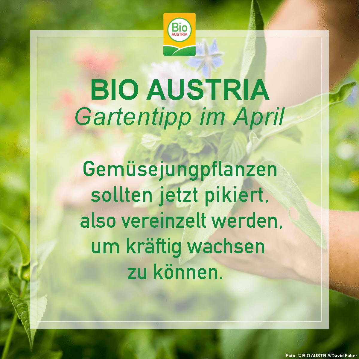Tipp für den Bio-Garten im April Gemüsejungplfanzen pikieren
