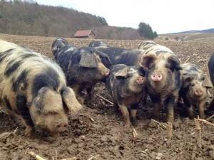 Verdorbene alte Schweine Pflaumen im Sexrausch