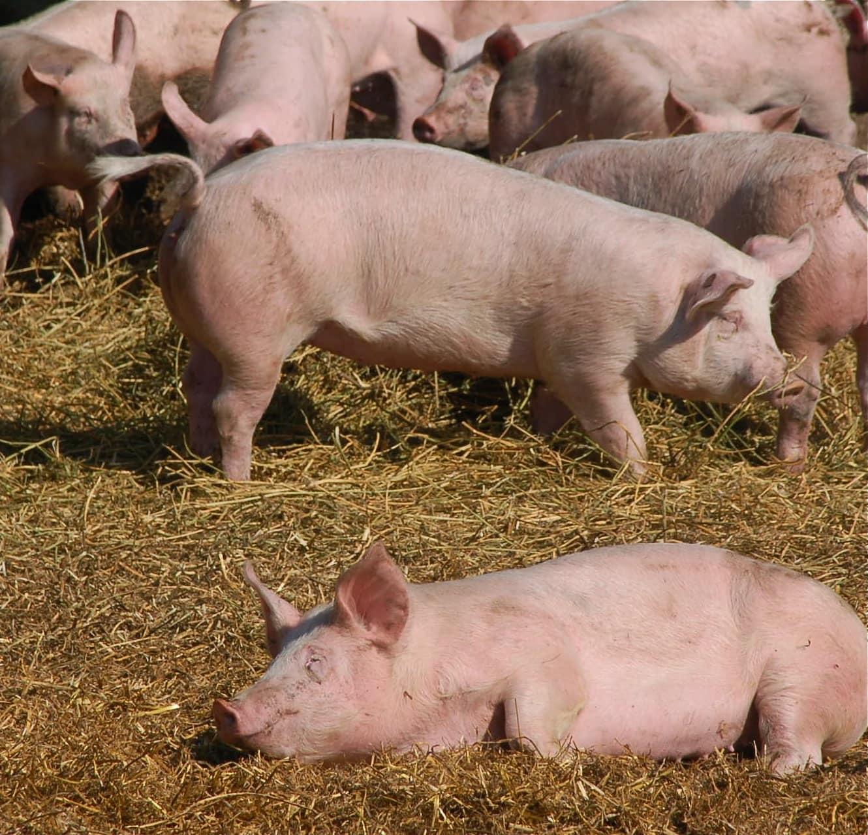 Beliebt Bevorzugt Schweine | BIO AUSTRIA @UQ_71