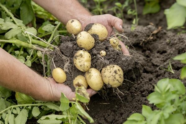 Kartoffel geerntet