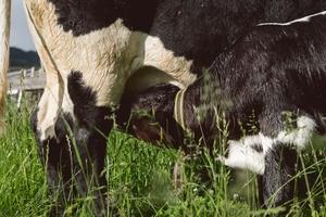 Kalb säugend Milchkuh