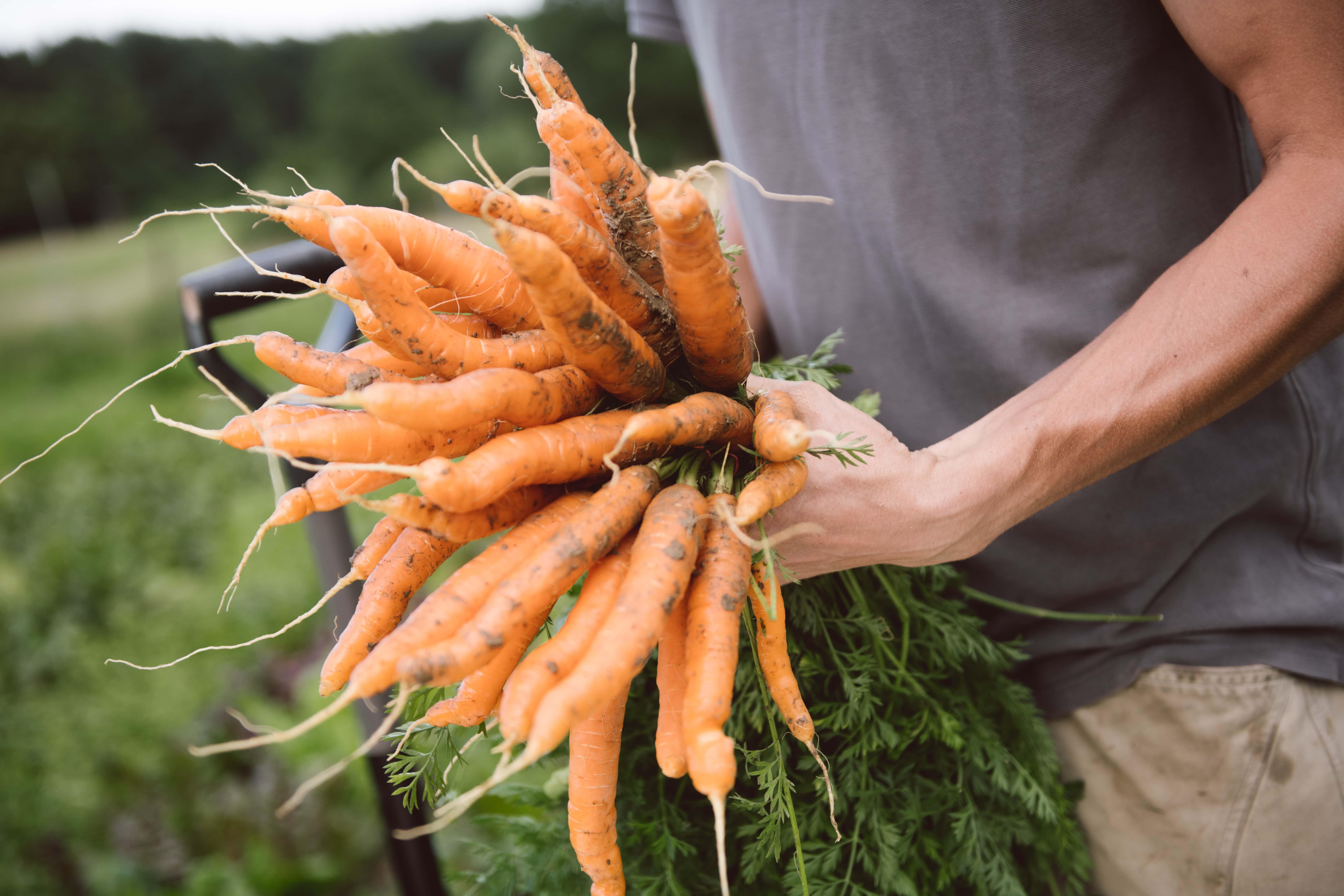 Karotten in der Hand