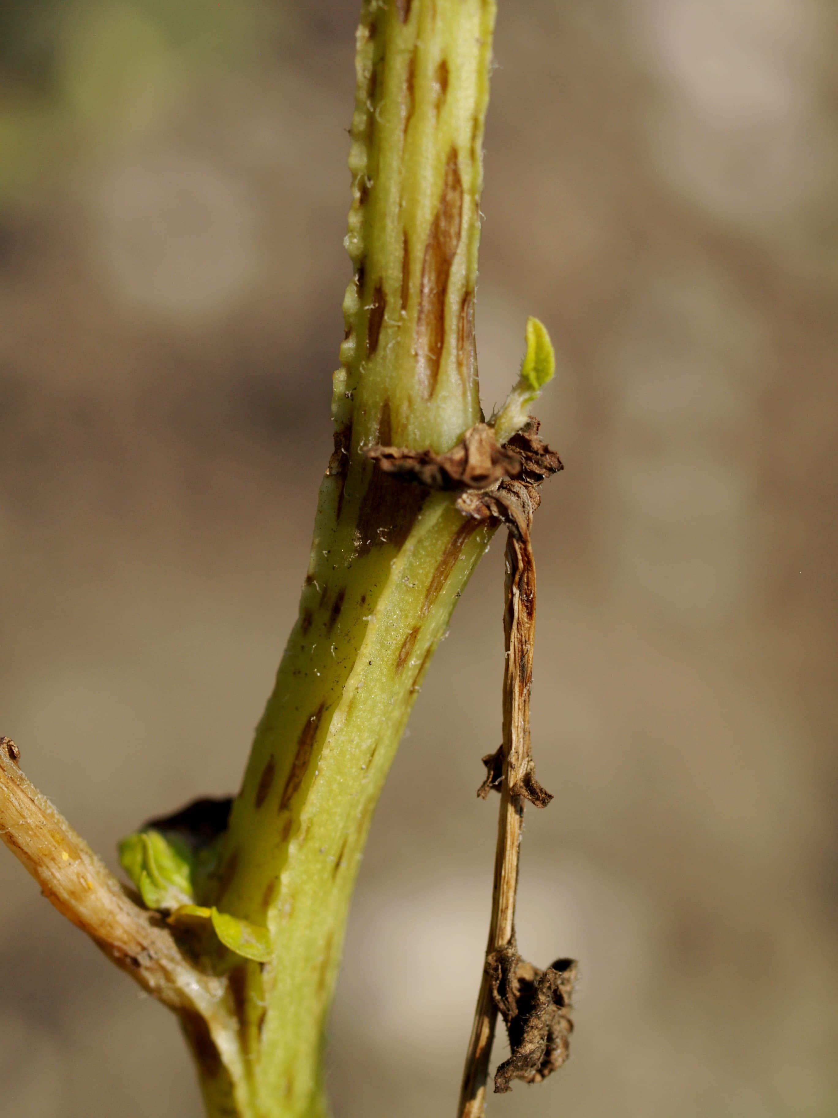 von Schädlingen befallene Pflanze