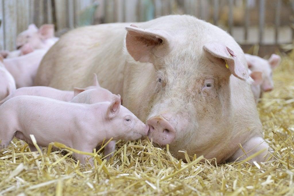 Mutterschweine mit ihren Ferkeln auf Stroh