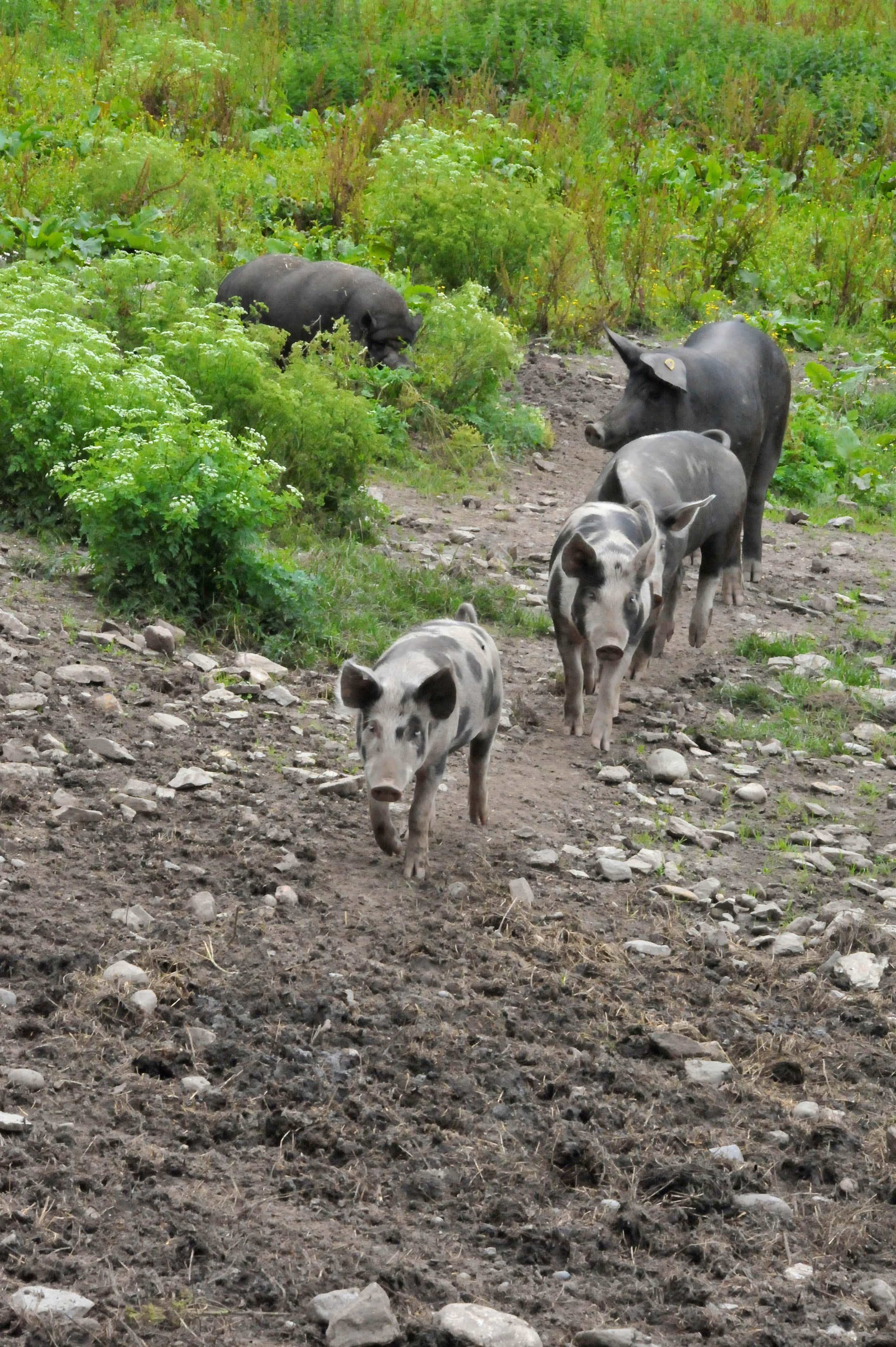 Schweine auf Weide
