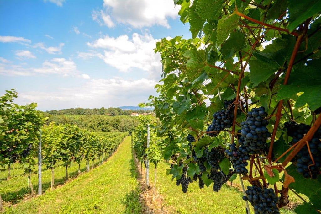 Weinfeld mit blauen Weinreben