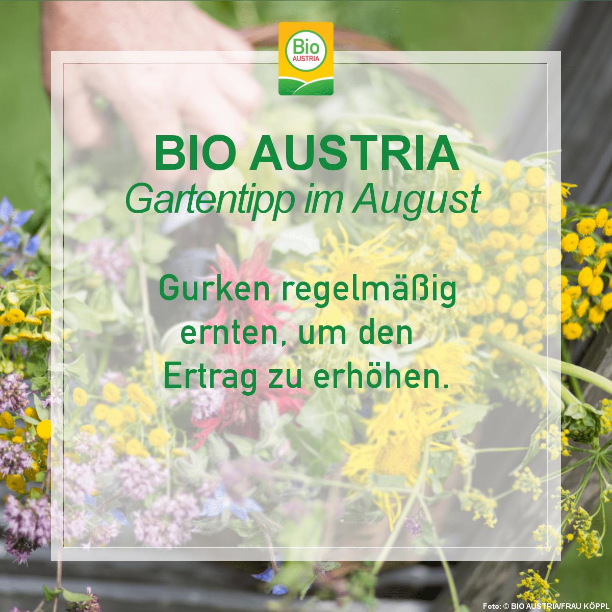 BIO AUSTRIA Gartentipp Gurken regelmäßig ernten
