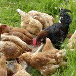 Hühner und Hahn beim fressen