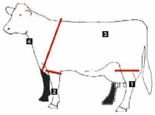 Veranschaulichung der Körperzonen eines Rindes