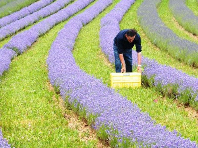 Bio-Lavendelffeld