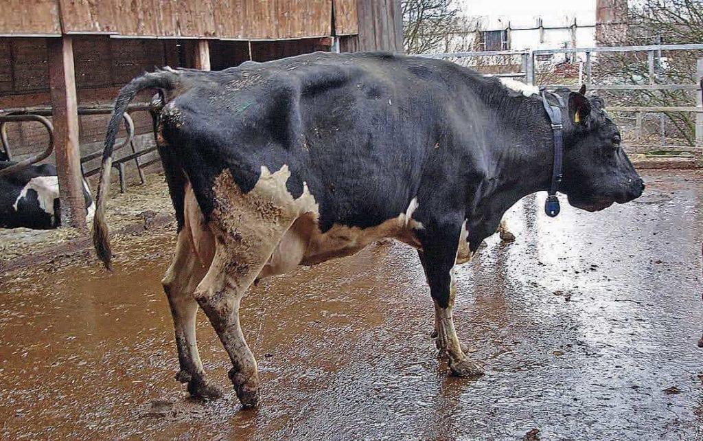 Kuh im Laufstall