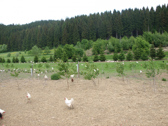 Hühner Grünlandauslauf