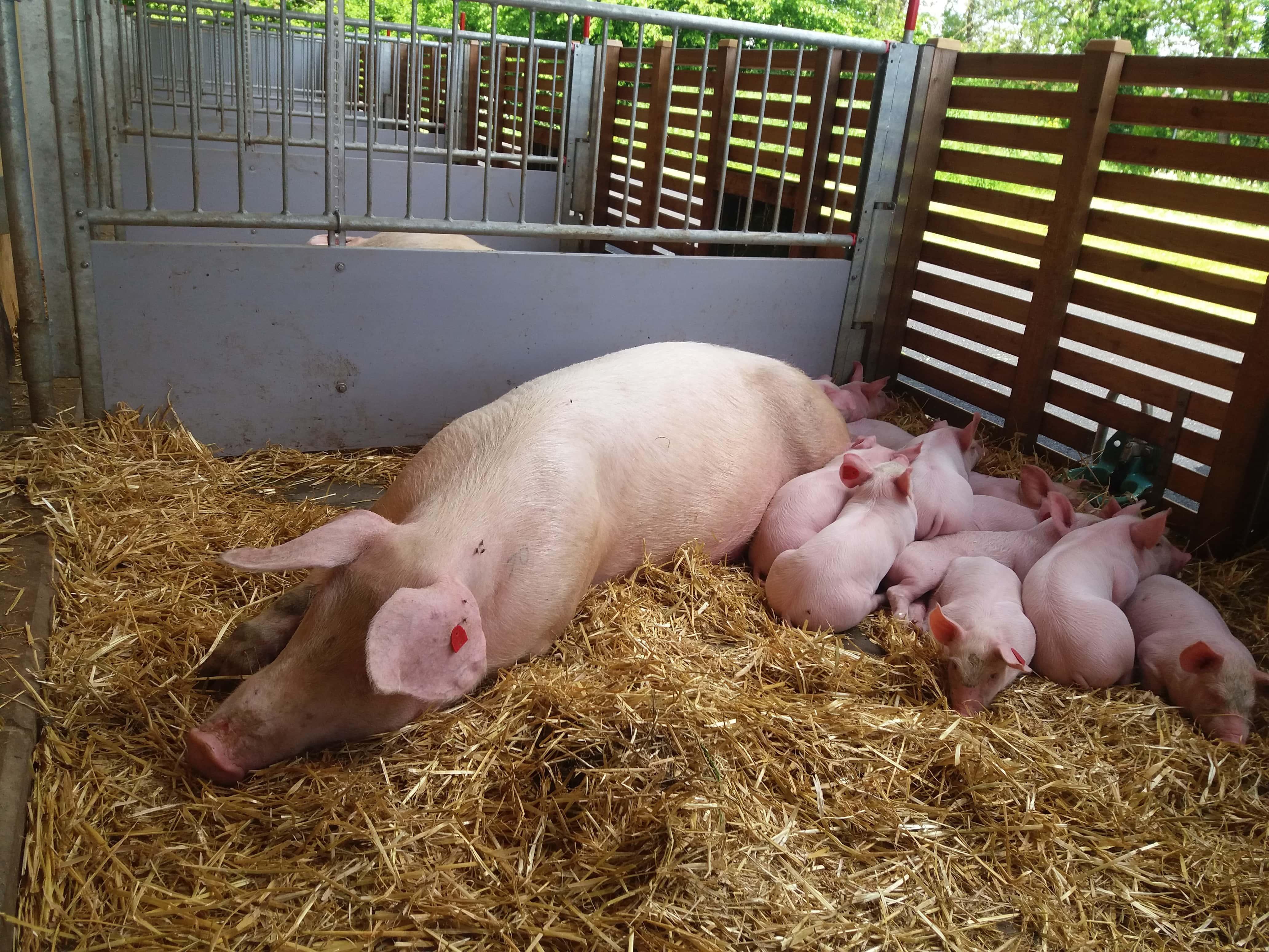 Schweinemutter mit ihren Ferkeln im neuen Abferkelstall
