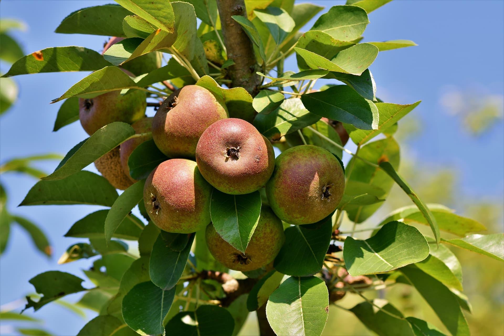 Äpfel auf Ast