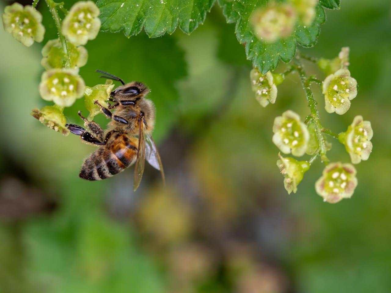Biene auf Blüten